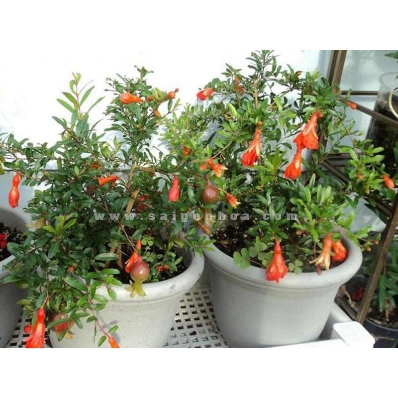 Hạt giống Lựu đỏ lùn (15 hạt)