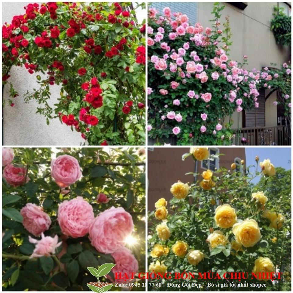 Gói Hạt giống hoa Hồng leo Pháp Nhiều màu (15-20 hạt)