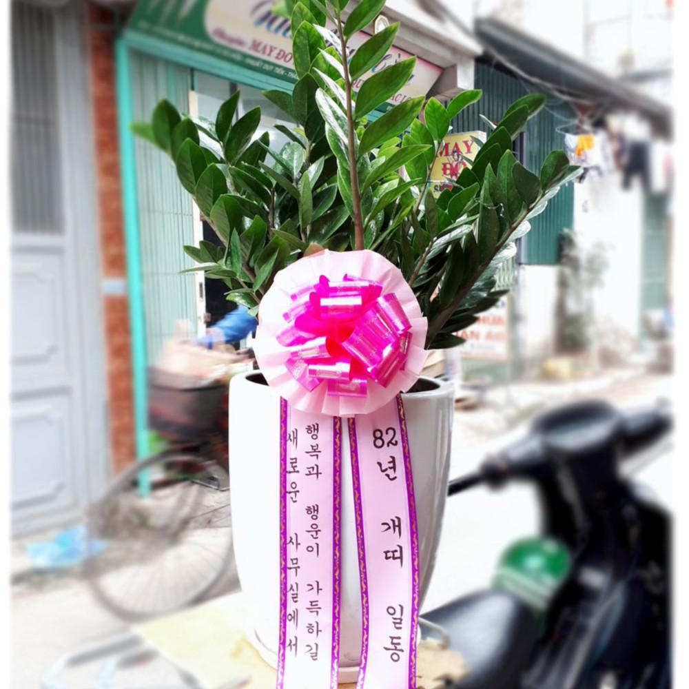 Chậu cây Kim Tiền - đường kính 40 x cao 130 cm - cây cảnh chúc mừng khai trương, tân gia