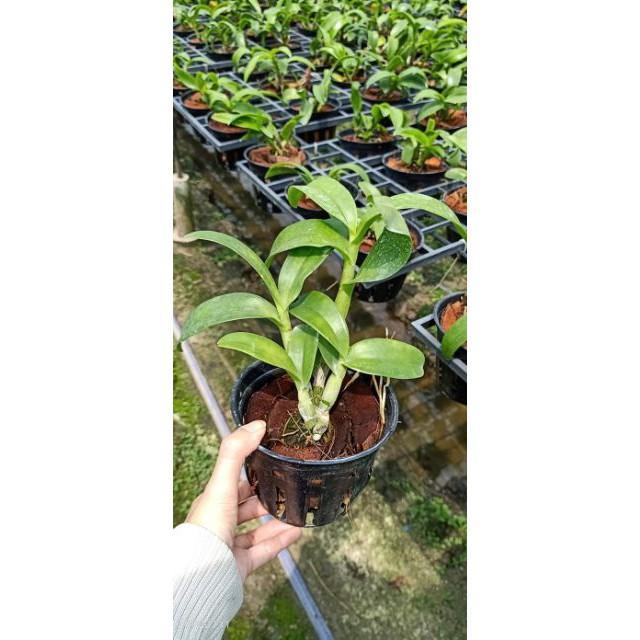 Dendro đột biến 3 vàng 3 đỏ nhập Thái - Thongchai Gold 3 - hàng cây tơ sắp cho hoa