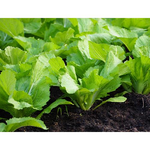 Bộ 1 gói hạt giống cải mỡ xanh- The Xanh