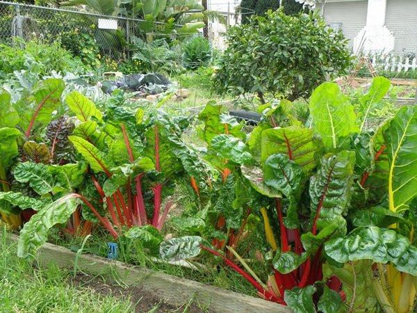 Hạt giống rau cải cầu vồng 4