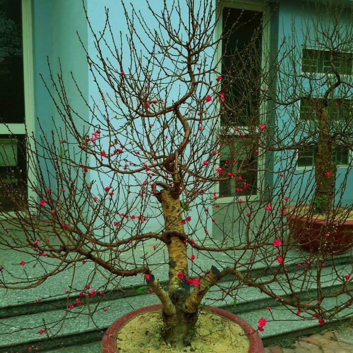 Cây hoa Đào Tết mẫu số 008