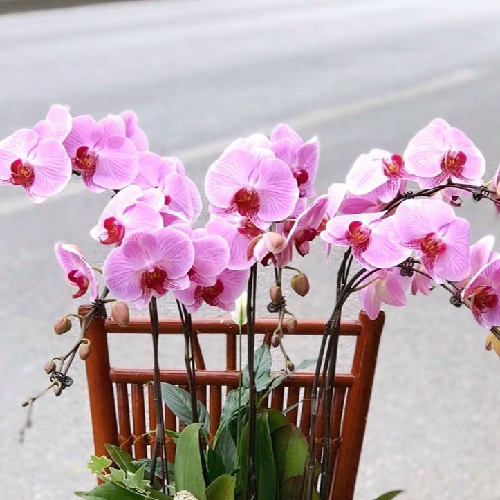 Chậu hoa Lan Hồ Điệp Đà Lạt - Mẫu 84 - Đường kính 25 x cao 70 cm - Mầu Tím - Chậu hoa, cây cảnh tặng khai trương, tân gia