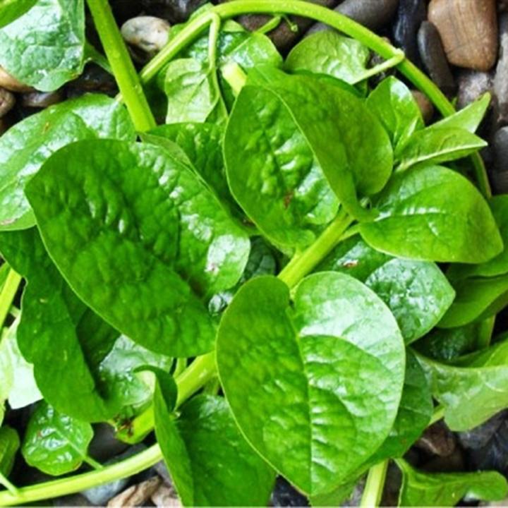 Hạt giống Mồng tơi lá to Thuận Thành (50g/gói) | Cây lớn, lá to tròn, phân nhánh mạnh