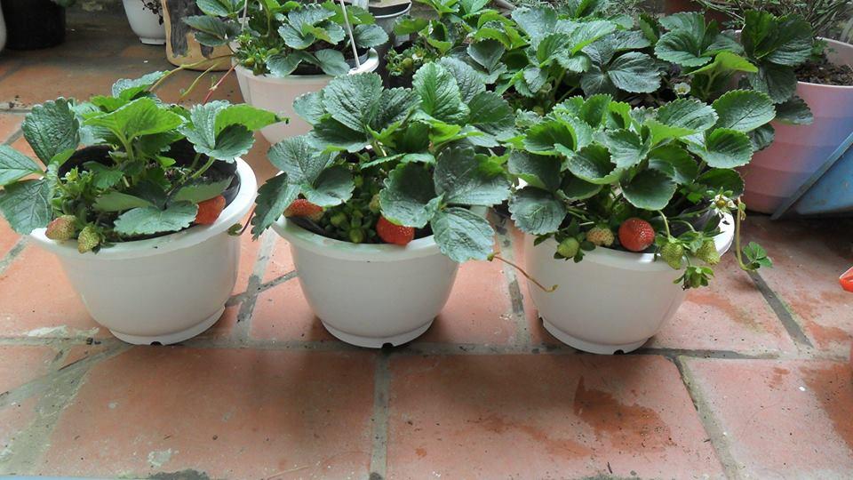 Hạt Giống Dâu Tây Chịu Nhiệt F1 High Quality Seeds - Nảy Mầm Cực Chuẩn