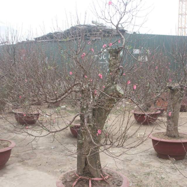 Cây hoa Đào Tết mẫu số 016