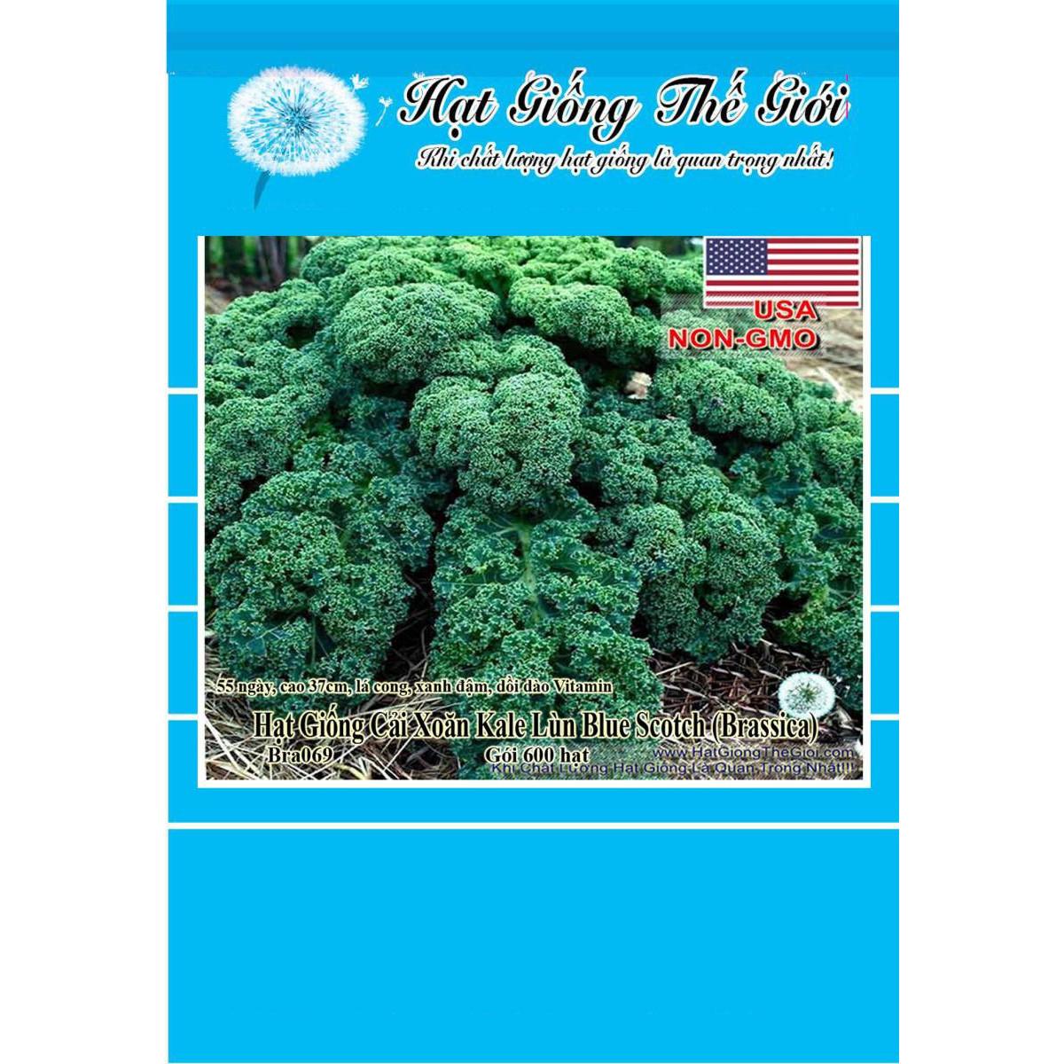 600h Hạt Giống Cải Xoăn Kale - Xoăn Lùn Blue Scotch (Brassica oleracea, Acephala)