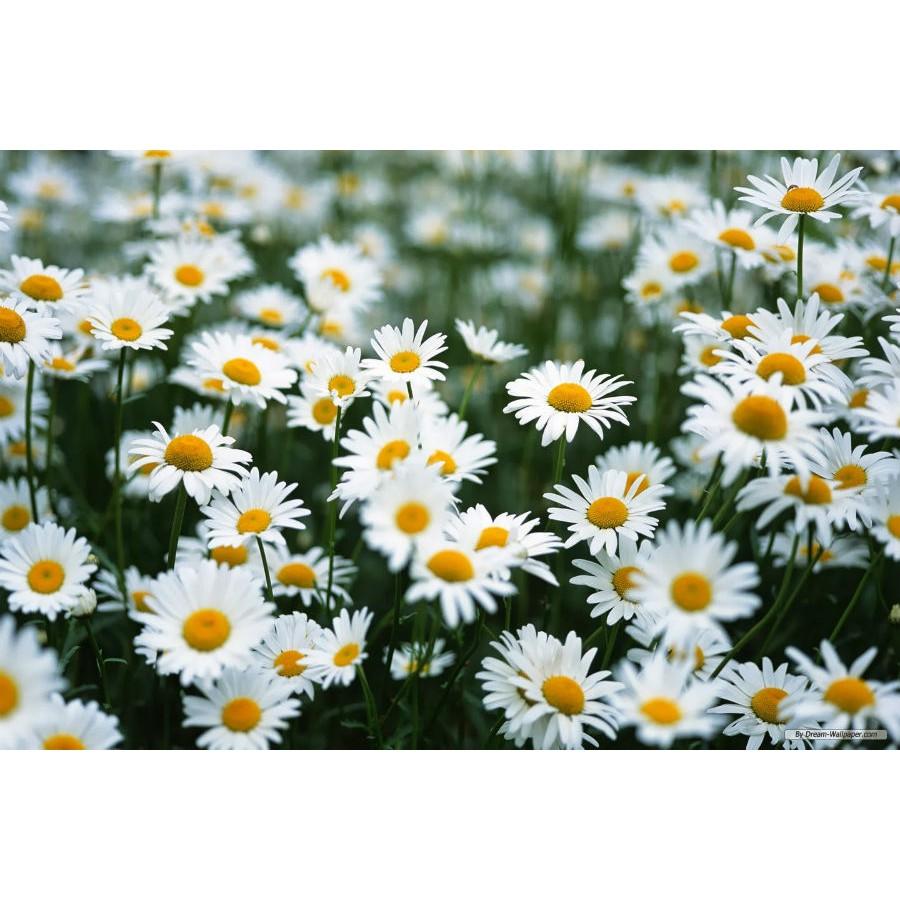Bộ 1 gói Hạt giống hoa  cúc chi trắng