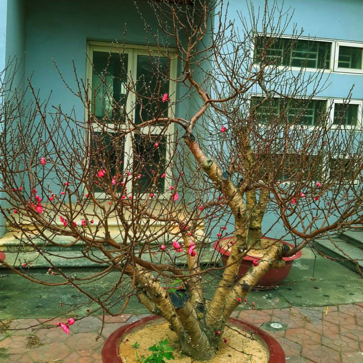Cây hoa Đào Tết mẫu số 012