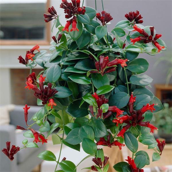 Chậu cây giống hoa lan son môi đỏ kèm chậu treo như hình - Lipstick Plant - Aeschynanthus lobbiana
