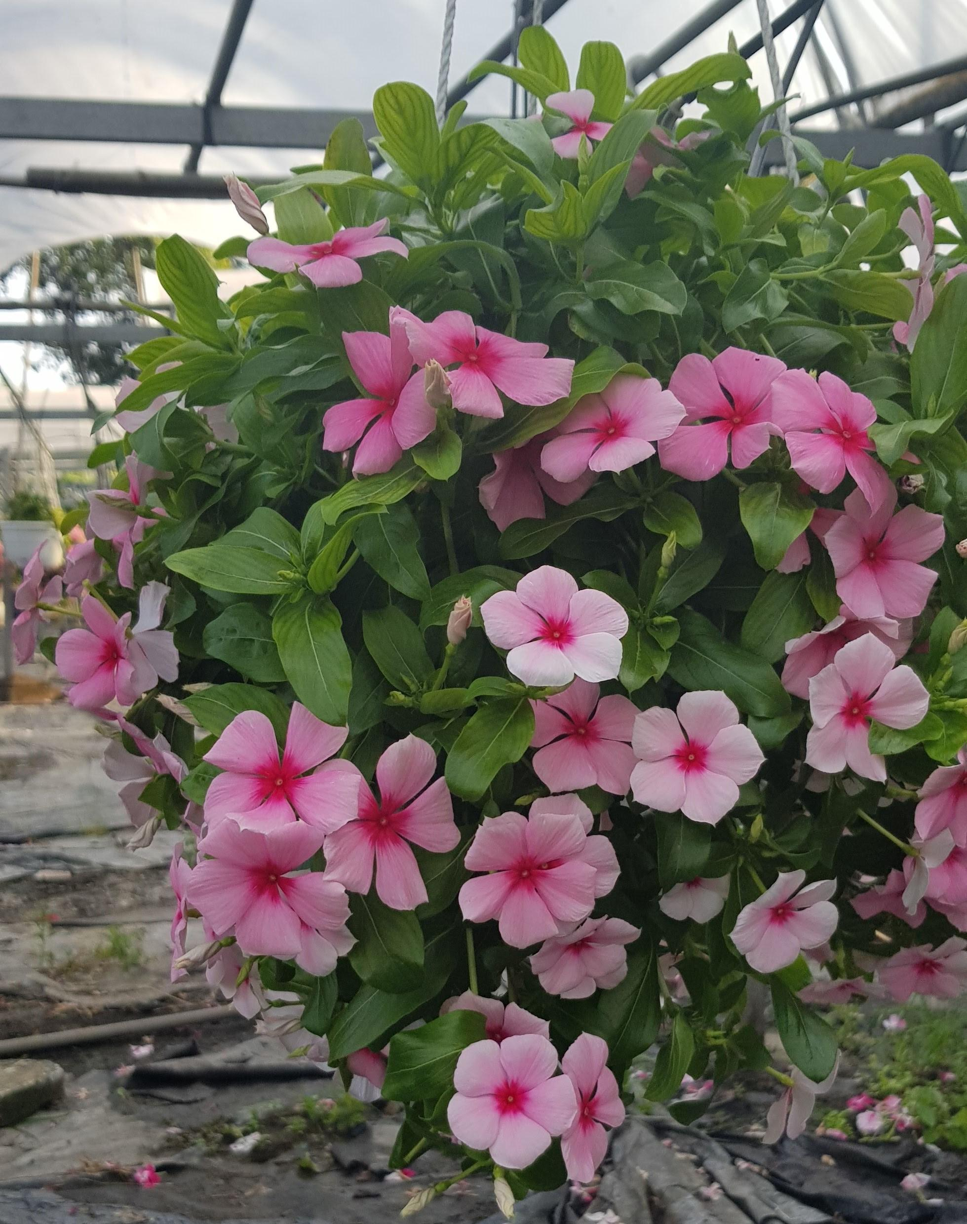 Dừa Cạn Siêu Hoa Chịu Nắng Cao