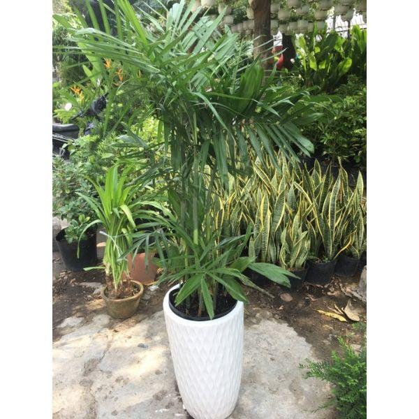 Cây cao hawai