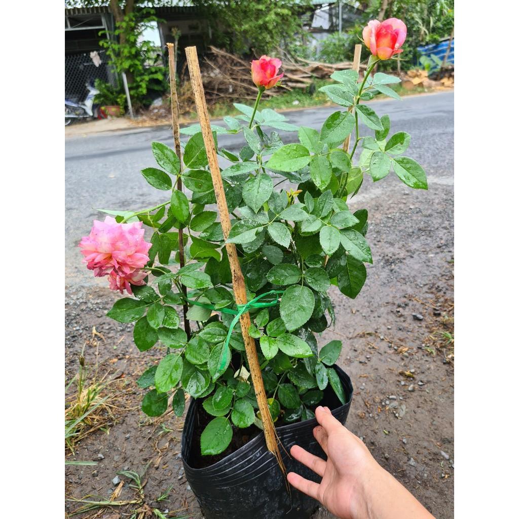 hồng BỤI Camellia size chậu C9 - giống hồng ngoại  sai hoa, hoa to và lâu tàn - CayGiongTot