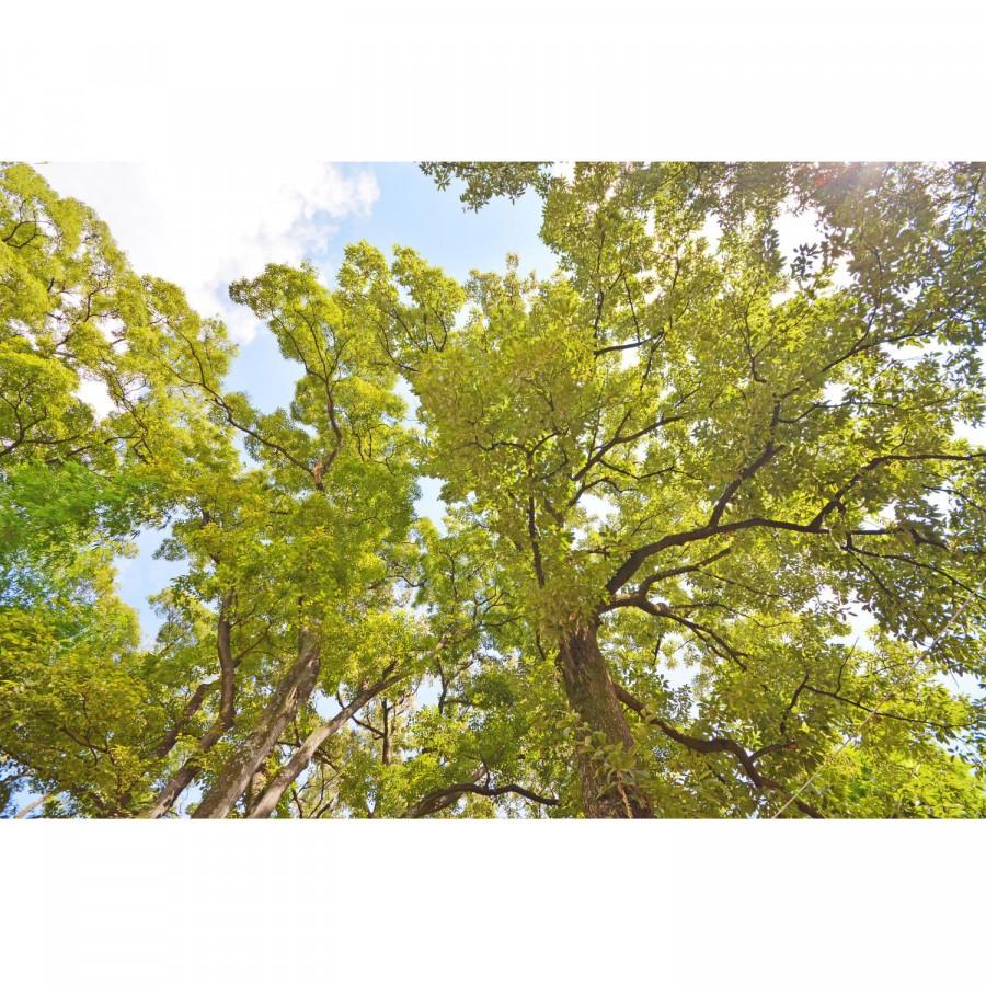 Tranh dán trần 3d tán cây xanh TN60