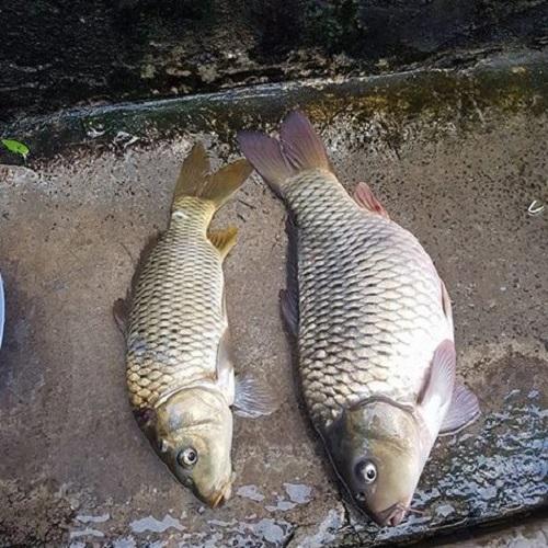 [HIỆU QUẢ] COMBO 2 chai tinh mùi câu cá chép 100 PLUS, thính dụ cá trắm đen chép hương dâu hiệu quả, tinh dầu câu trôi cá trắm, thuoc cau ca chep, mồi câu cá chép nhạy