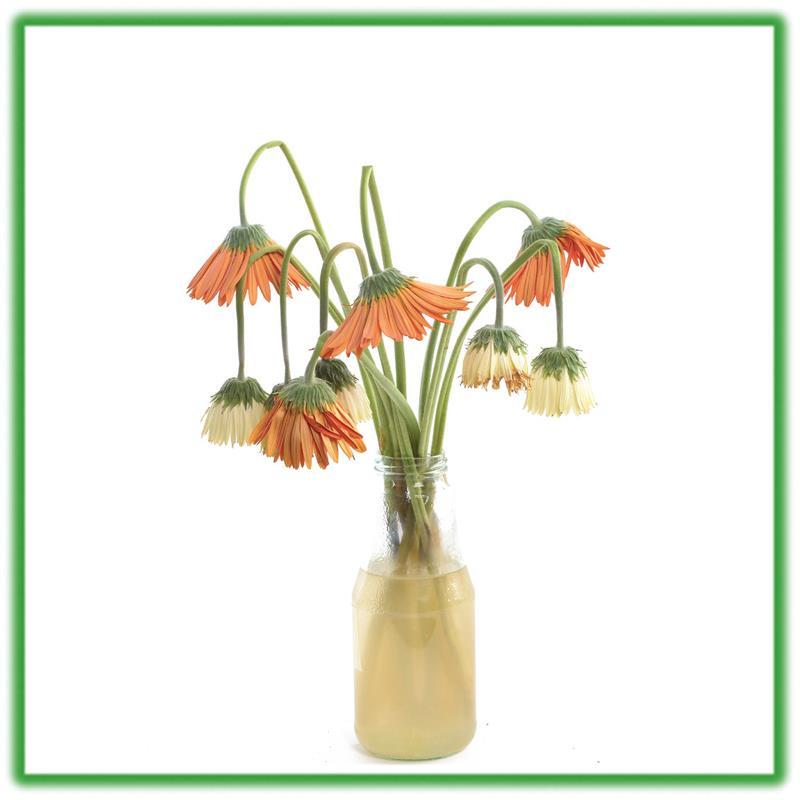 Bột Cắm Hoa ISRAEL (Combo 50 gói dưỡng hoa), Hiệu Longlife giữ hoa tươi lâu gấp 2 lần và 14 ngày không thay nước mới