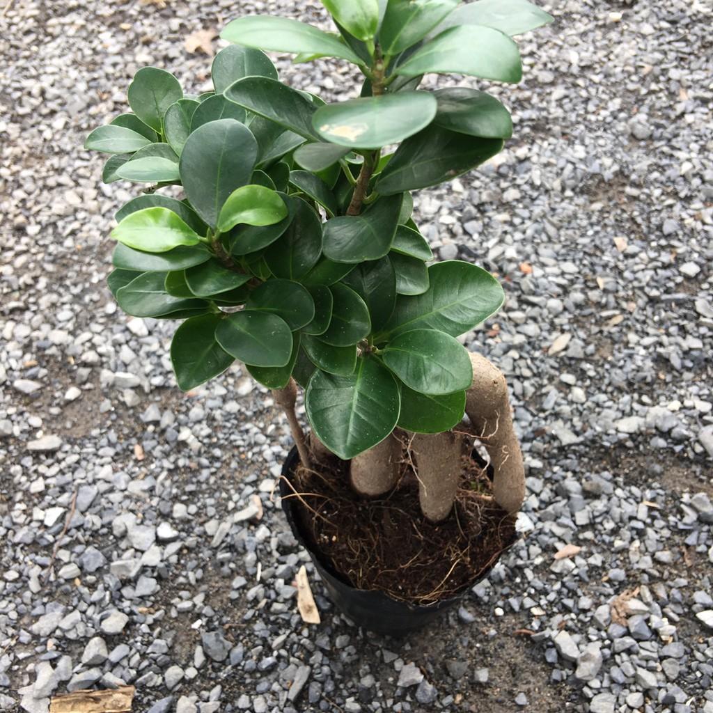 Chậu cây si ghép bonsai để bàn đẹp