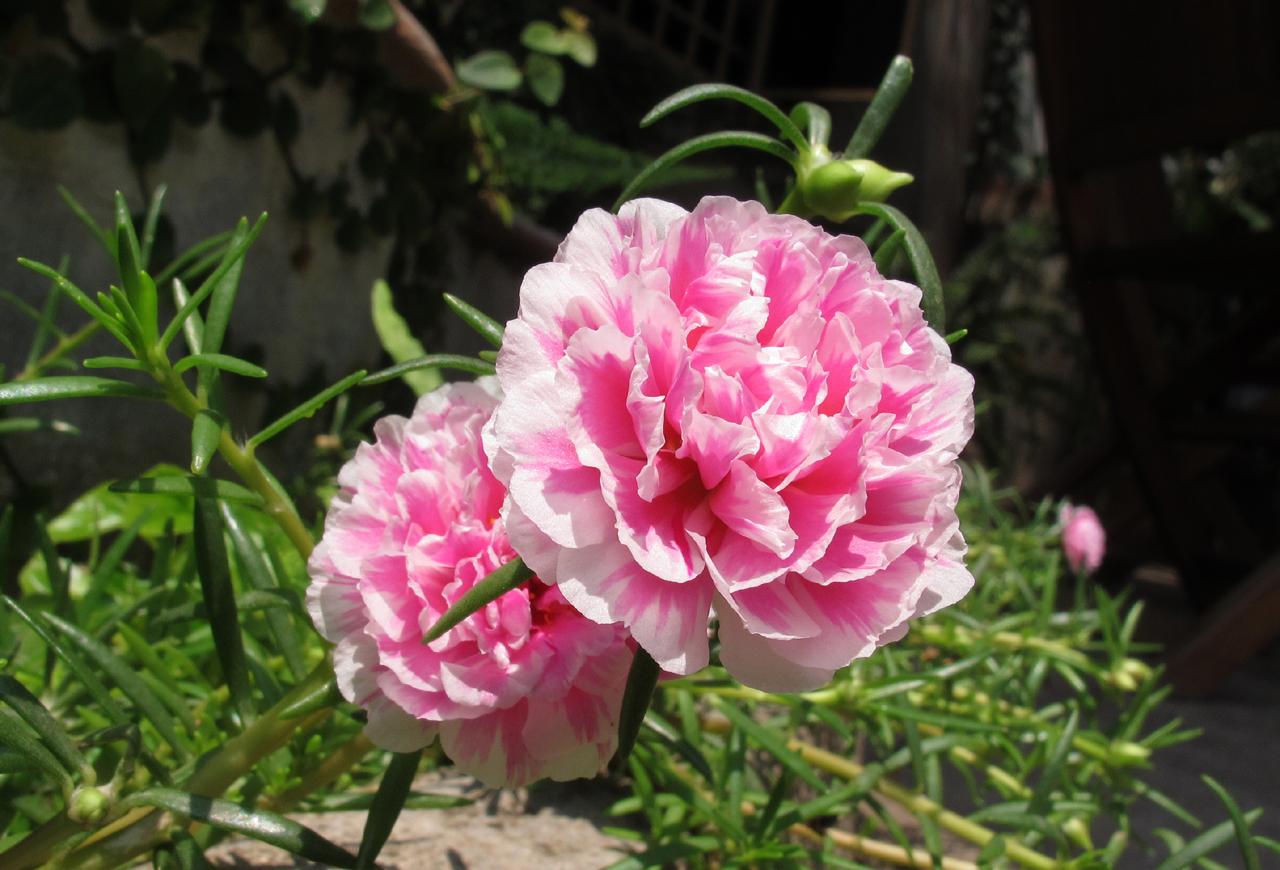 Bộ 1 gói Hạt giống hoa mười giờ mỹ kép nhiều màu - 100 hạt