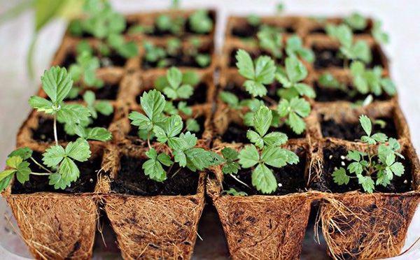 Kết quả hình ảnh cho trồng dâu tây