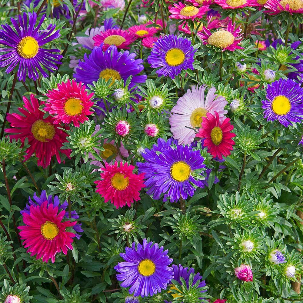 Hạt giống Hoa Thạch Thảo nhiều màu VTS118