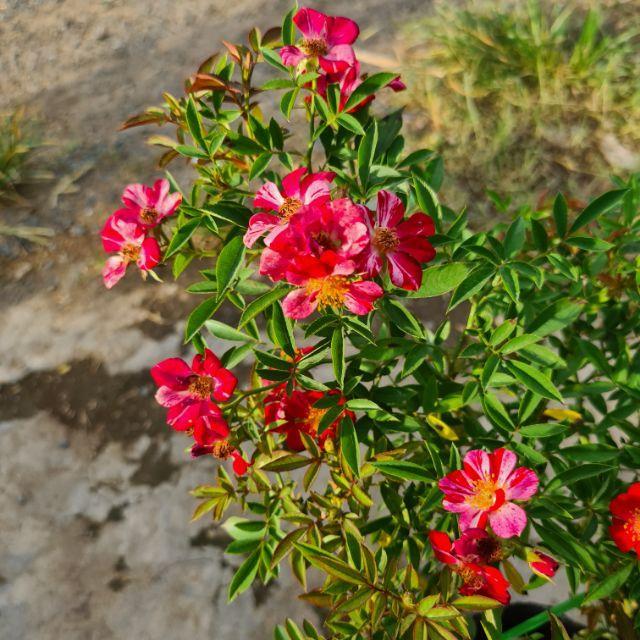 Hồng BỤI Nhật Kazehanabi (hồng sọc cánh đơn, hoa chùm) size chậu C9- CayGiongTot