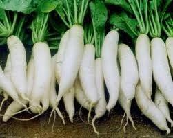 Hạt giống củ cải trắng 1