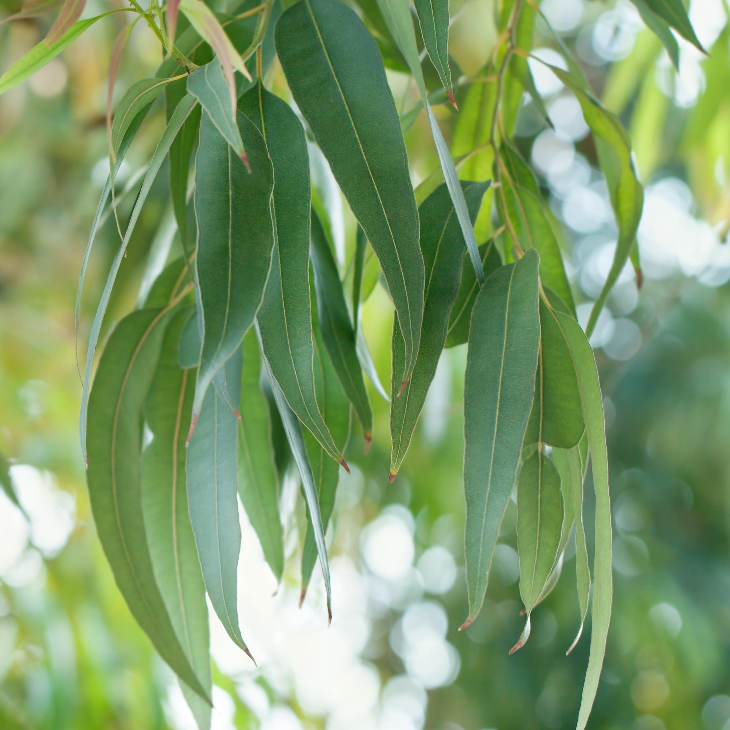 Tinh Dầu Khuynh Diệp - Eucalyptus Essential Oil 10ml - Hoa Thơm Cỏ Lạ