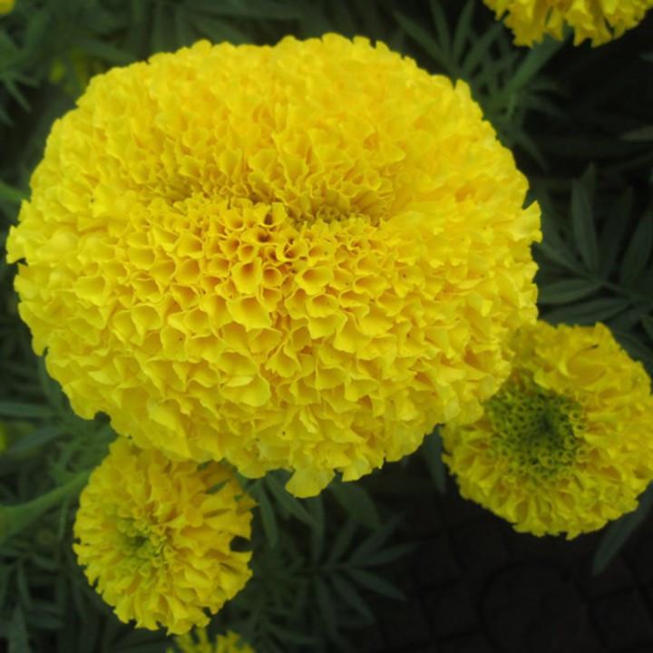 Hạt giống hoa cúc Vạn thọ 1