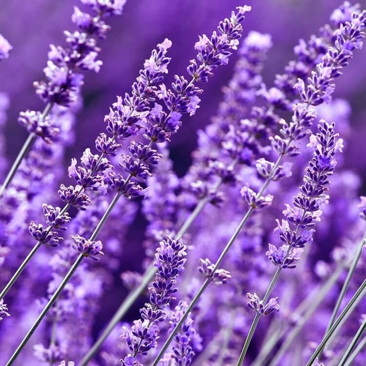 Tinh Dầu Thiên Nhiên Hoa Oải Hương Nomad Essential Oils Lavender 50ml