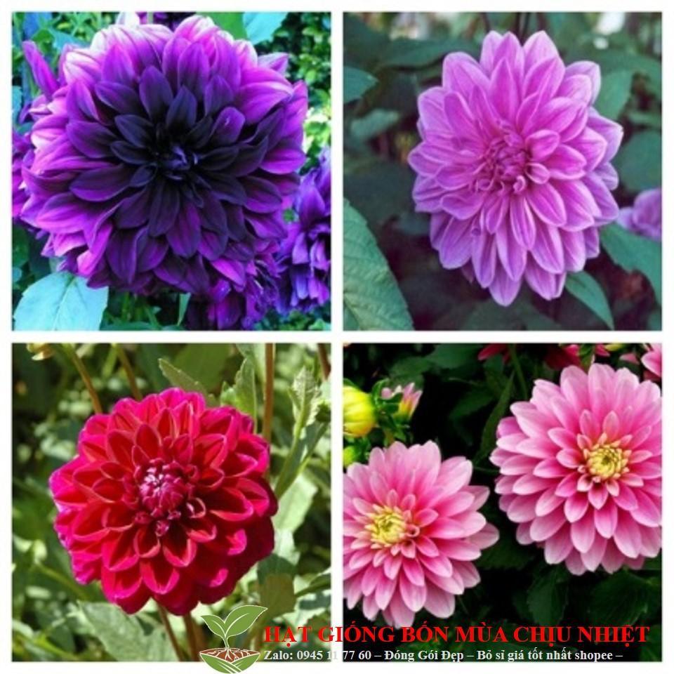 Hạt giống hoa thược dược nhiều màu (thược dược kim cương) 20 hạt ĐẾN MÙA TRỒNG TẾT