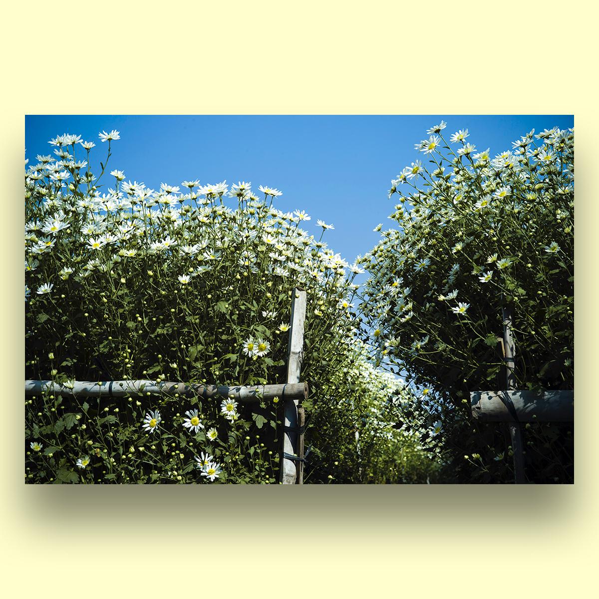 Tranh Trang Trí Treo Tường Canvas Hoa Cúc Hoạ Mi Hà Nội - Công Nghệ In UV Nhật Bản - Màu Sắc Đẹp Rõ Nét