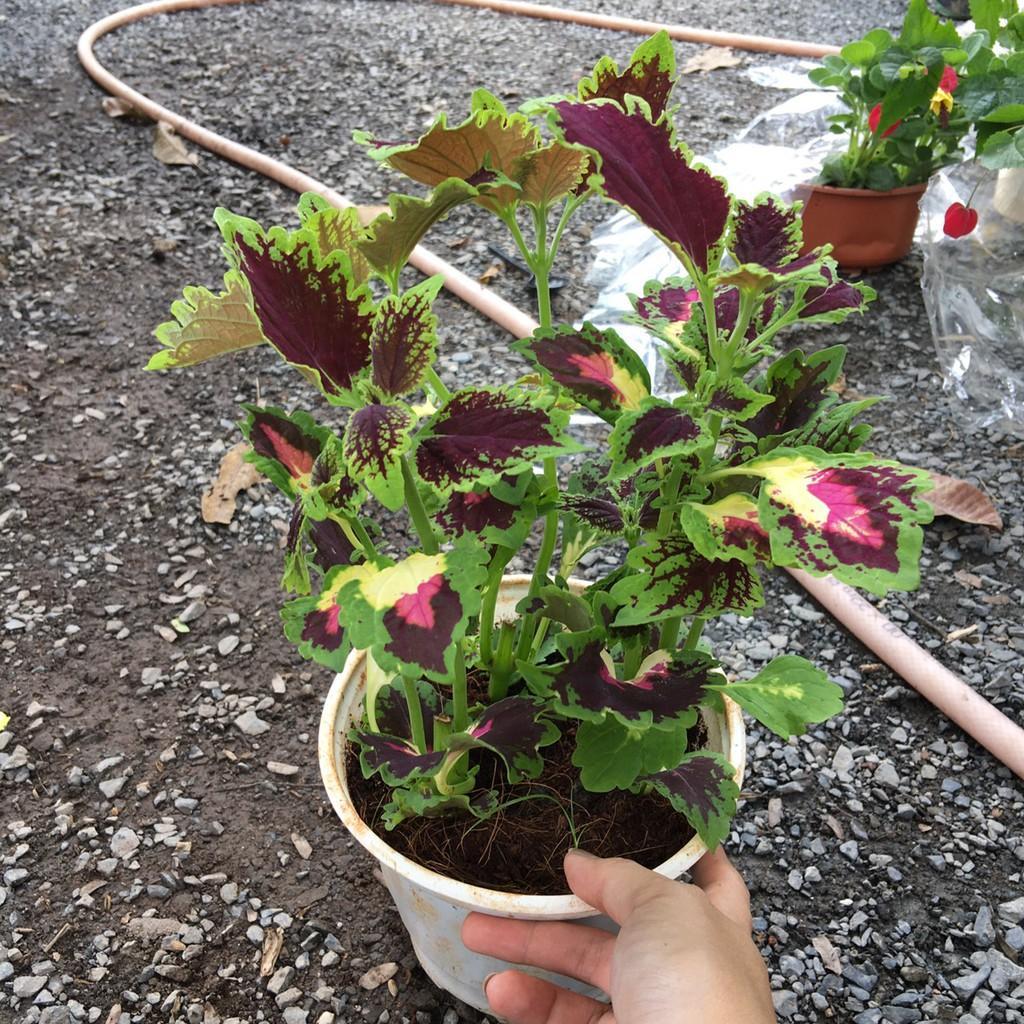 Chậu Cây Gấm - Cây tía tô cảnh - Cây cần cảnh có nhiều  màu - Cây kiểng lá trang trí sân vườn đẹp mắt