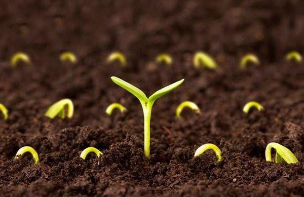 Ươm hạt giống trước khi gieo giúp hạt giống dễ dàng nảy mầm hơn