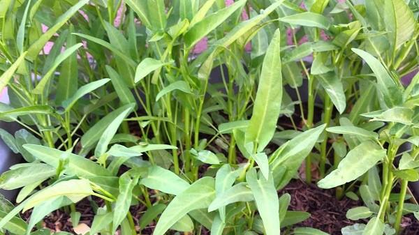 Hướng dẫn cách trồng và chăm bón rau muống