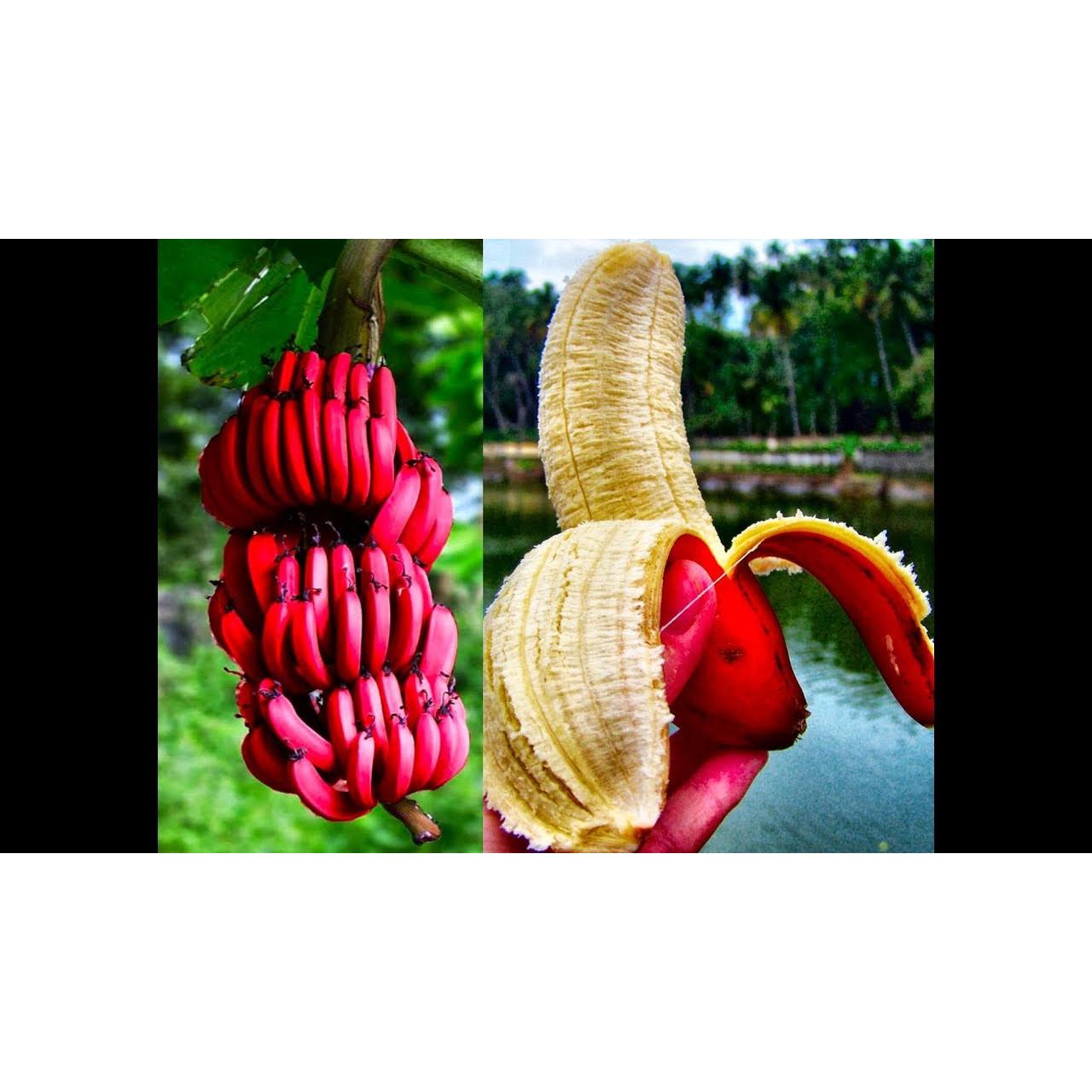 Bộ 1 hạt giống chuối đỏ Daca-10 hạt