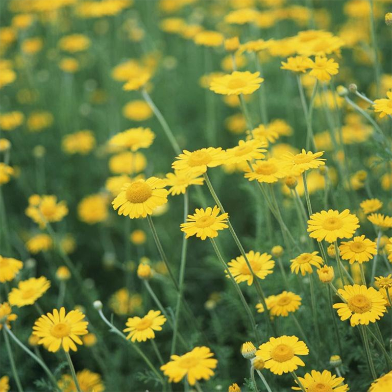 Hạt giống hoa Cúc mặt trời Golden Seeds F1 50 Hạt