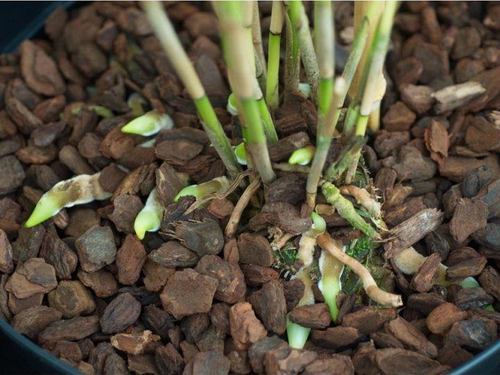 Vỏ thông trồng lan đã qua xử lý 1 x 3cm Golden Seeds gói 500 Gr