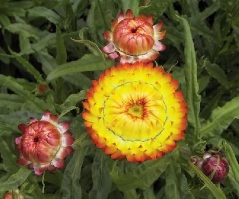 Hạt giống hoa cúc bất tử lùn 2