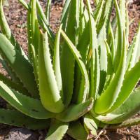Phấn phủ hữu cơ chống nắng dạng bột - naturaglacé LOOSE POWDER 3