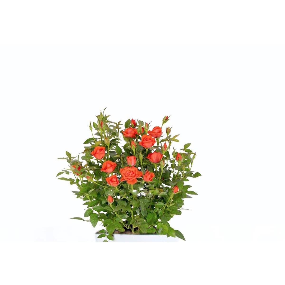 Cây hoa hồng đỏ siêu bông