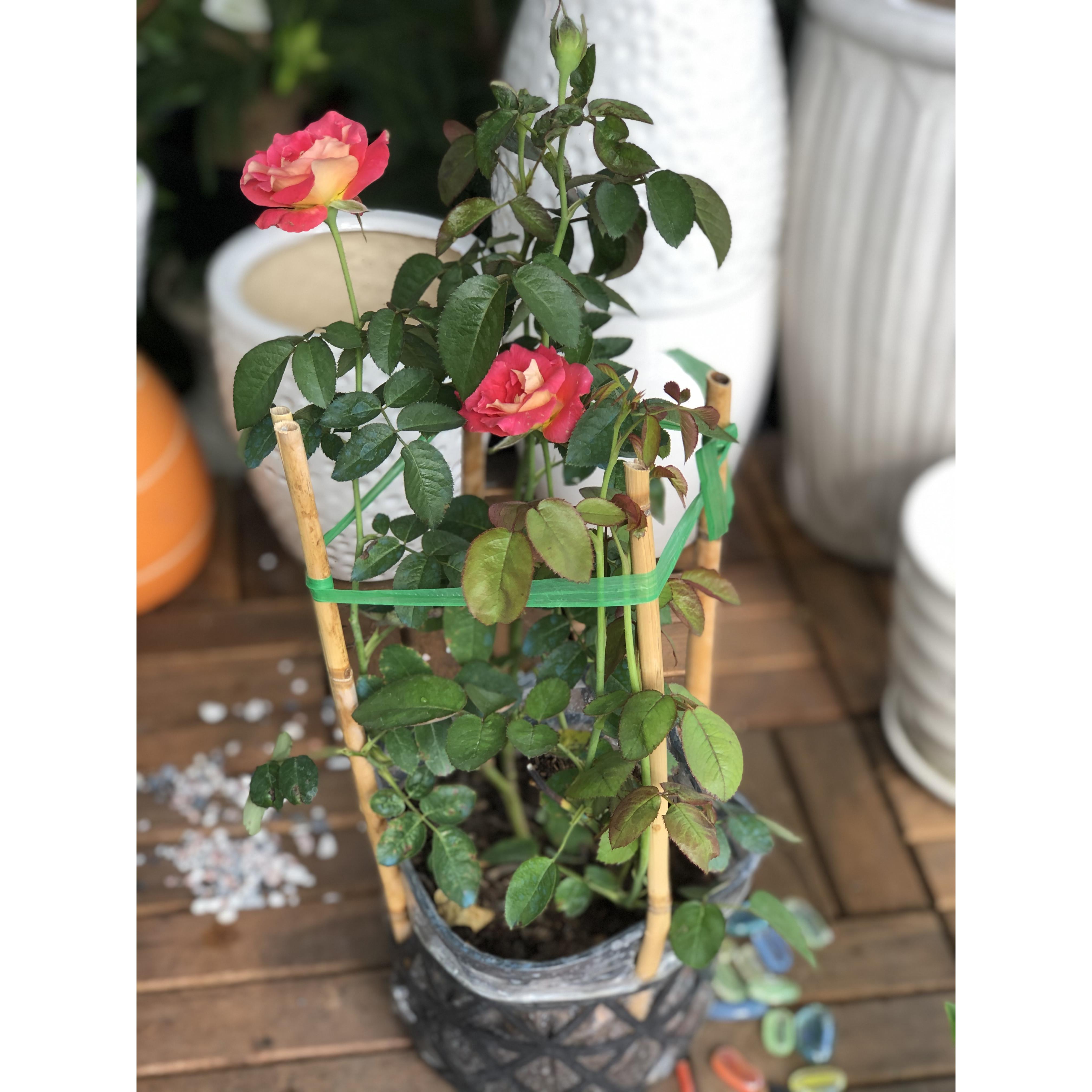 Chậu cây hoa hồng 2 da
