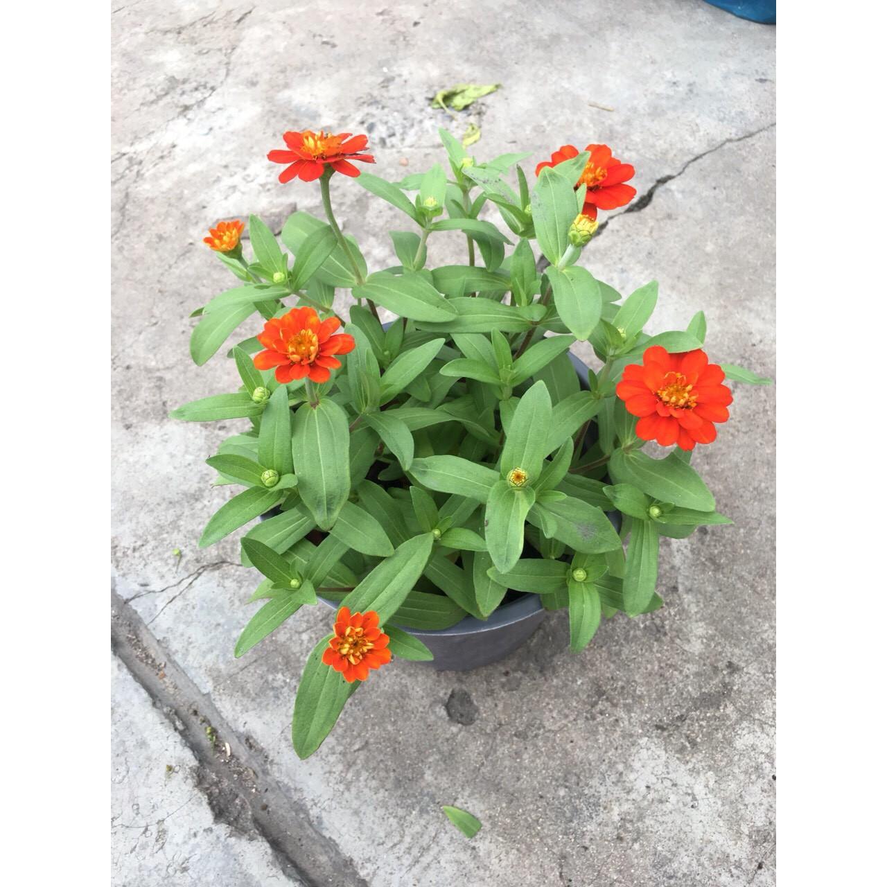 Cây Hoa Cúc Trang Trí MS10
