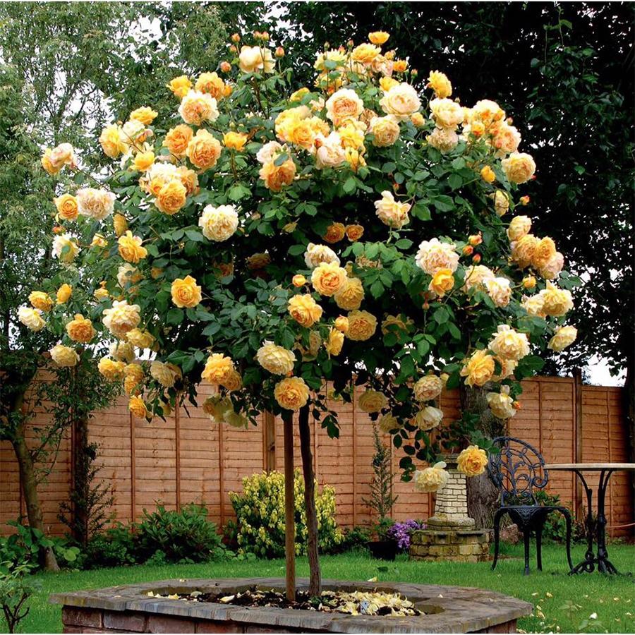 Hạt giống hoa Hồng thân gỗ Golden Seeds 10 Hạt