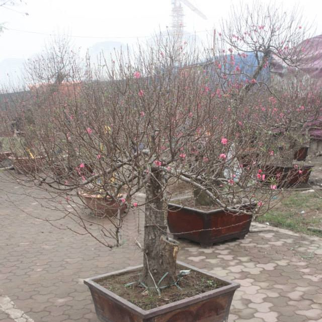 Cây hoa Đào Tết mẫu số 015
