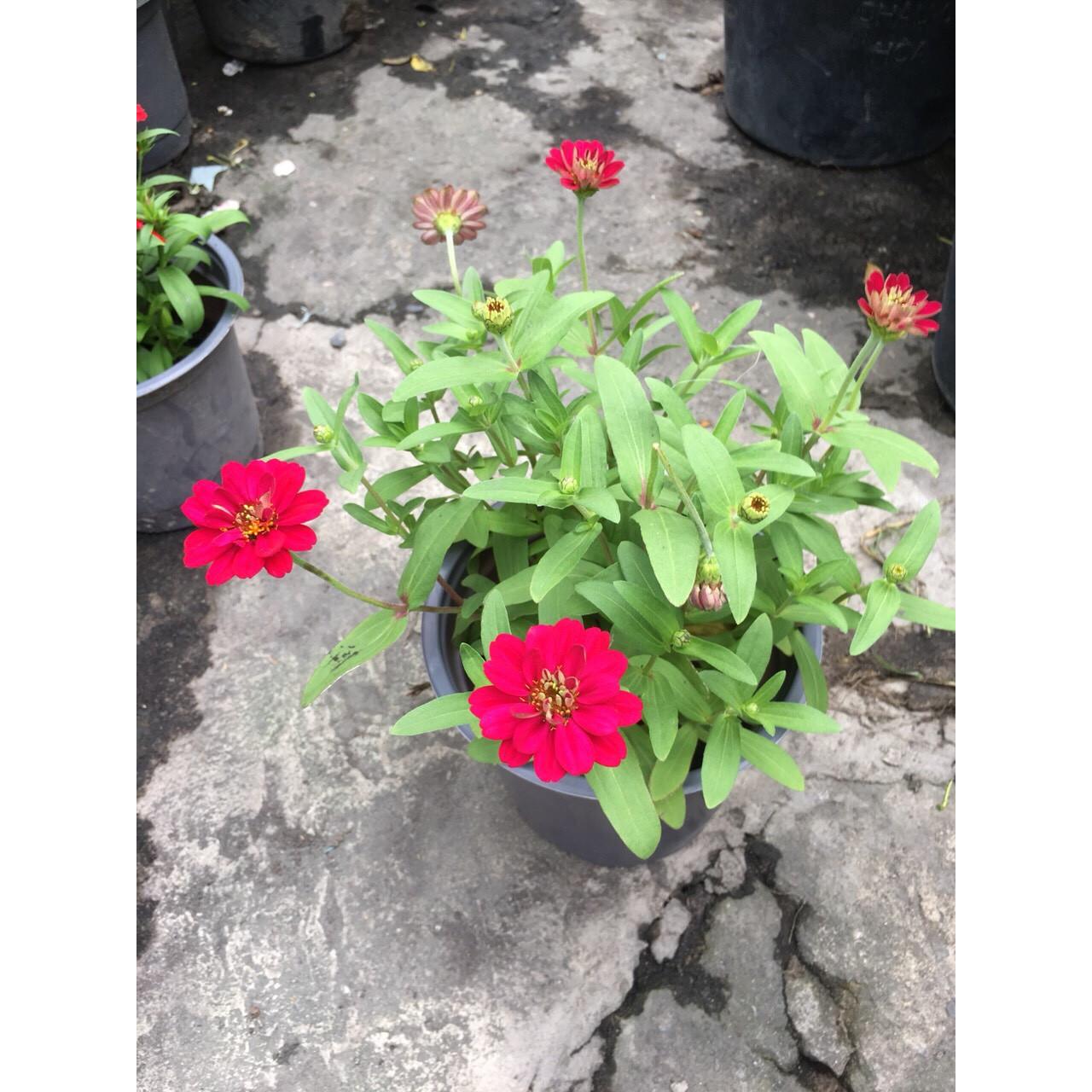 Cây Hoa Cúc Trang Trí MS2