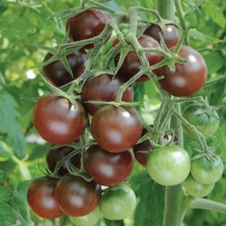 02 gói Hạt giống cà chua bi đen - cherry đen F1 VTP96