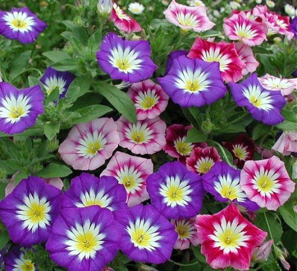 Hướng dẫn cách gieo hạt và chăm có hoa Bìm Bịp Mix