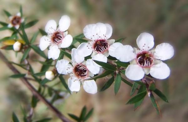 manuka hoa