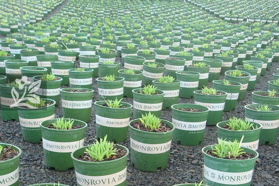 Chậu nhựa trồng cây Monrovia